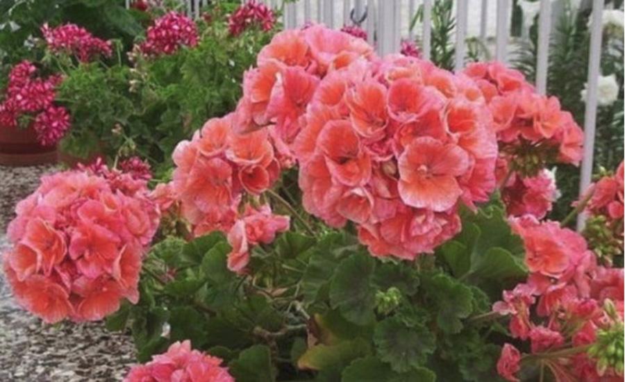Cum sa ai muscate cu flori bogate. Trucuri care iti vor colora gradina sau balconul
